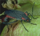 Female soapberry bug